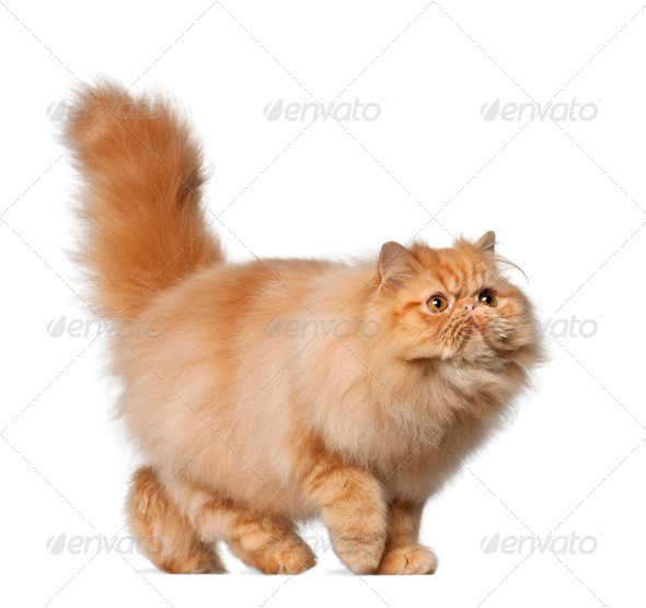 Persian cat, 7 months old, in front of white background - Stock Photo - Images