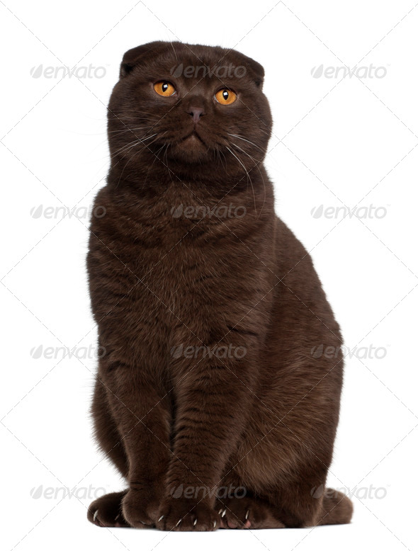 Scottish Fold cat, 1 year old, sitting in front of white background - Stock Photo - Images