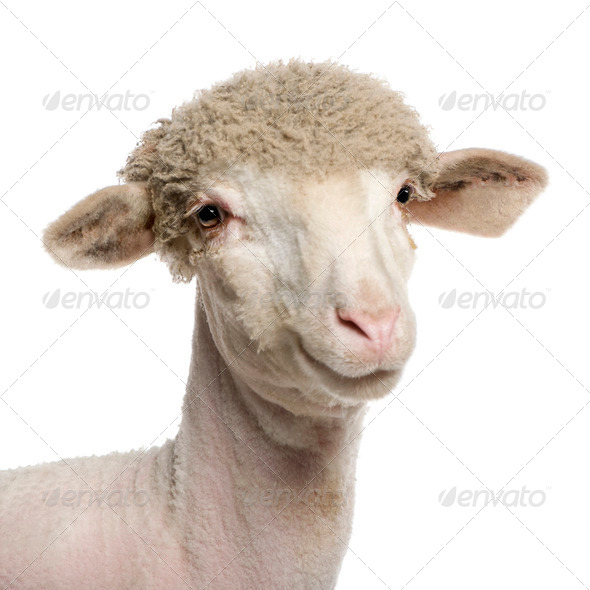 Portrait of partially shaved Merino lamb, 4 months old, in front of white background - Stock Photo - Images