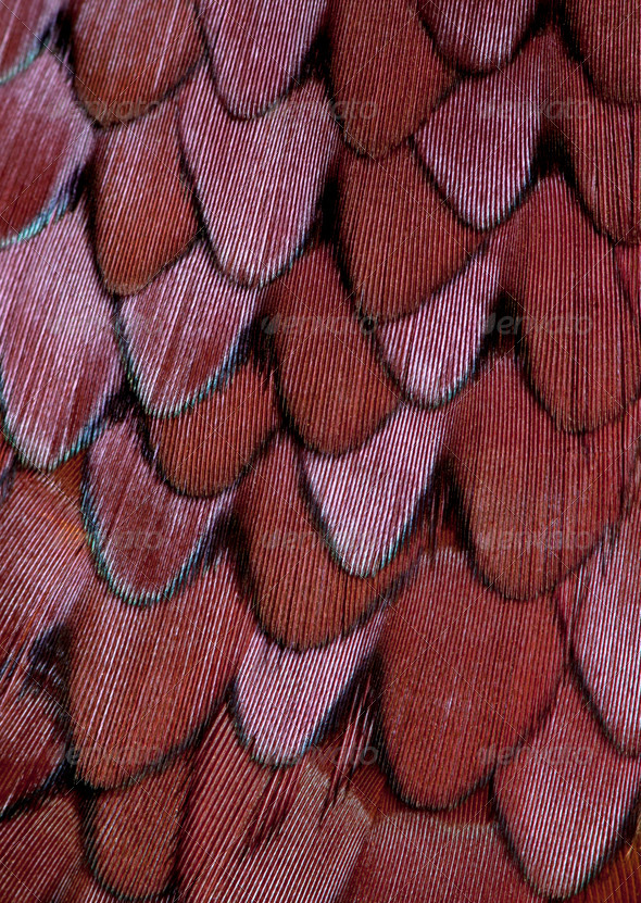 Close up of Male European Common Pheasant, Phasianus colchicus, feathers - Stock Photo - Images