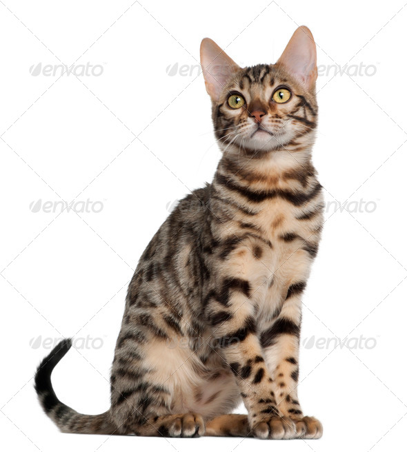 Bengal kitten, 4 months old, sitting in front of white background - Stock Photo - Images