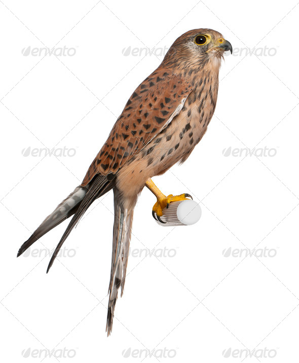 Common Kestrel, Falco tinnunculus, perching in front of white background - Stock Photo - Images