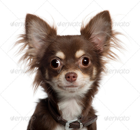 Portrait of Chihuahua puppy, 6 months old, in front of white background - Stock Photo - Images
