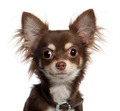 Portrait of Chihuahua puppy, 6 months old, in front of white background