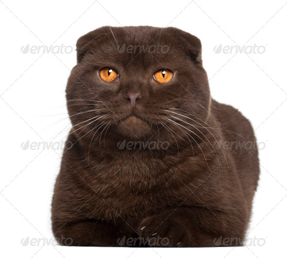 Portrait of Scottish Fold cat, 1 year old, in front of white background - Stock Photo - Images