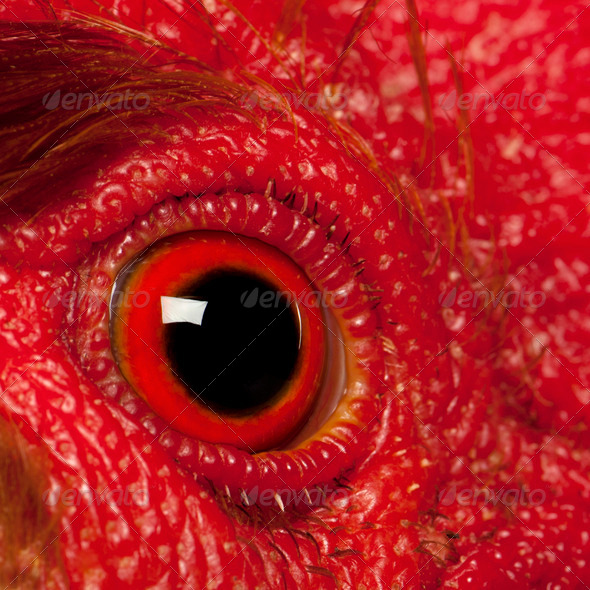 Close up of Rooster Leghorn eye - Stock Photo - Images