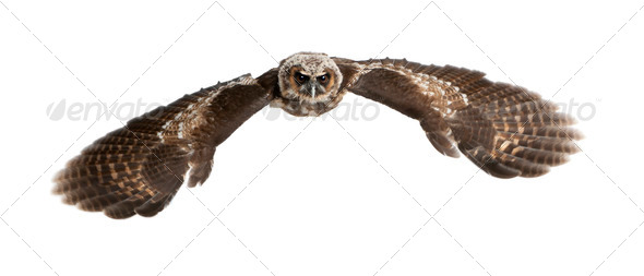 Portrait of Brown Wood Owl, Strix leptogrammica, flying in front of white background, six months old - Stock Photo - Images