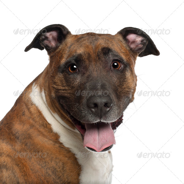 Portrait of American Staffordshire Terrier, 10 years old, in front of white background - Stock Photo - Images