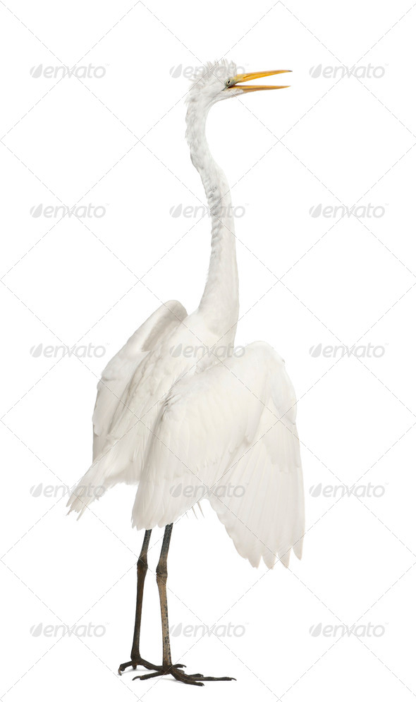 Great Egret or Great White Egret or Common Egret, Ardea alba, standing in front of white background - Stock Photo - Images