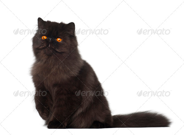 Portrait of Persian cat, 7 months old, sitting in front of white background - Stock Photo - Images