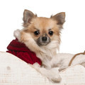 Chihuahua, 8 months old, in Christmas sleigh in front of white background