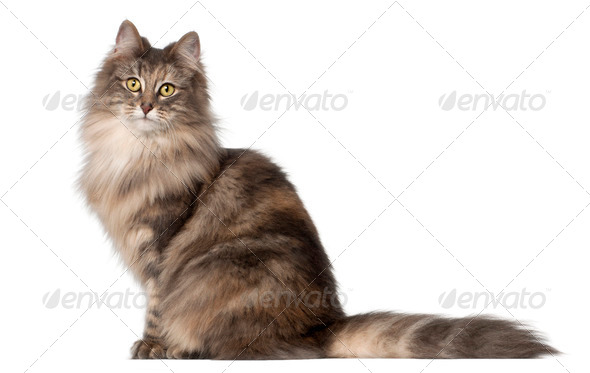 Norwegian Forest Cat, 1 and a half years old, sitting in front of white background - Stock Photo - Images