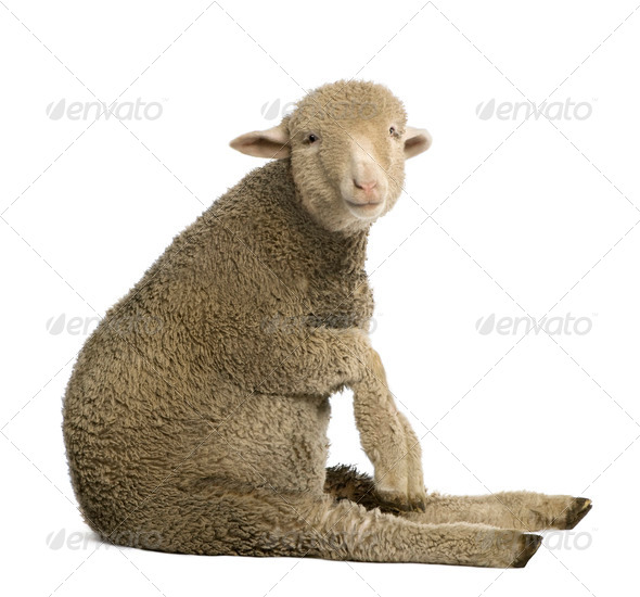 Merino lamb, 4 months old, sitting in front of white background - Stock Photo - Images