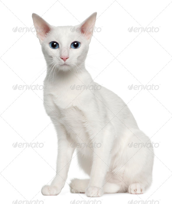 Portrait of Oriental Shorthair cat, 3 years old, sitting in front of white background - Stock Photo - Images
