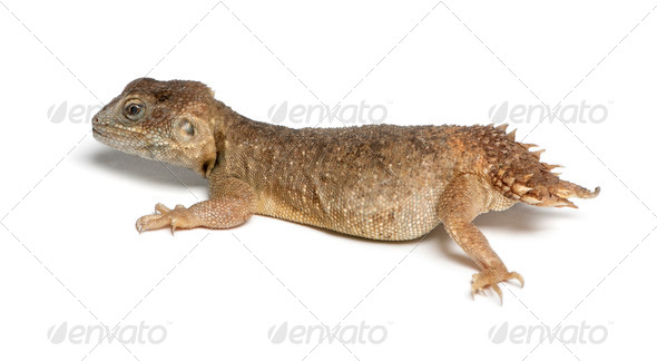 Shield-tailed Agama - Xenogama taylori - Stock Photo - Images