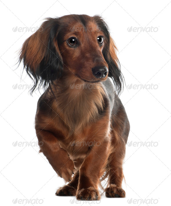 Dachshund, 10 months old, standing in front of white background - Stock Photo - Images