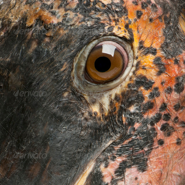 Close up of Marabou Stork, Leptoptilos crumeniferus, 1 year old - Stock Photo - Images