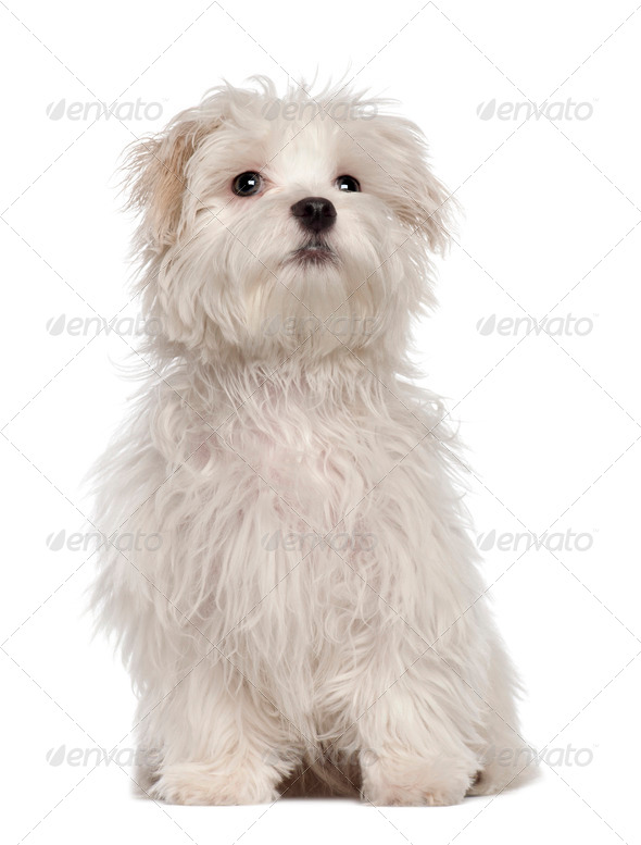 Maltese puppy, 5 months old, sitting in front of white background - Stock Photo - Images