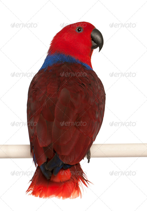 Female Eclectus Parrot, Eclectus roratus, in front of white background - Stock Photo - Images