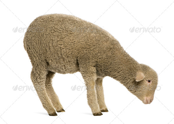 Merino lamb, 4 months old, standing in front of white background - Stock Photo - Images