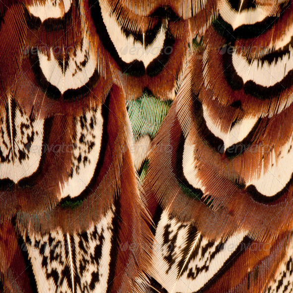 Close up of Male American Common Pheasant, Phasianus colchicus, feathers - Stock Photo - Images