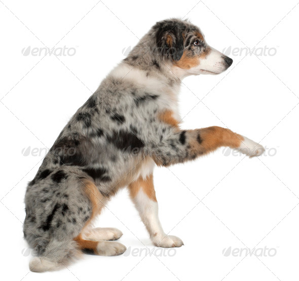 Puppy Australian shepherd playing, 5 months old, sitting in front of white background - Stock Photo - Images