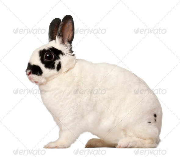 Dalmatian rabbit, Oryctolagus cuniculus, 4 months old - Stock Photo - Images