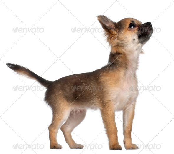 Chihuahua, 3 and a half months old, standing in front of white background - Stock Photo - Images