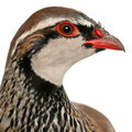 Close up of Red-legged Partridge or French Partridge, Alectoris rufa