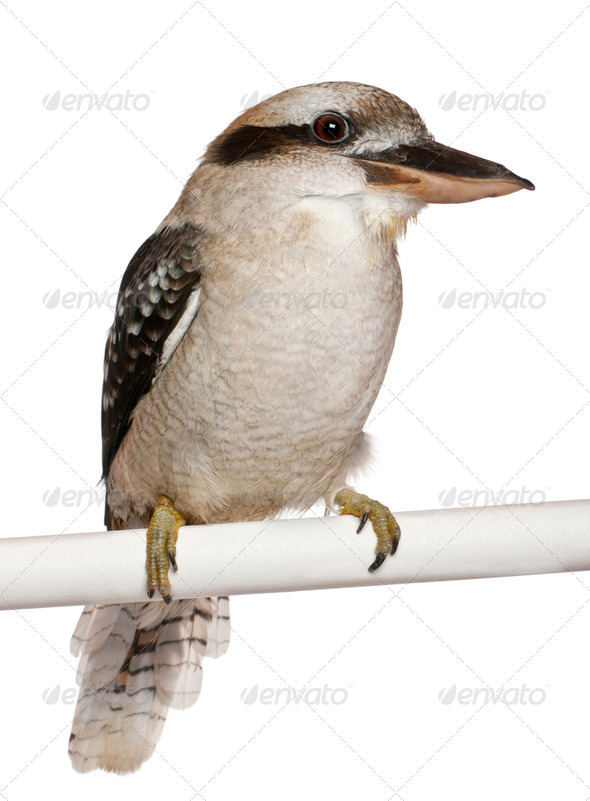 Laughing Kookaburra, Dacelo novaeguineae, perching in front of white background - Stock Photo - Images