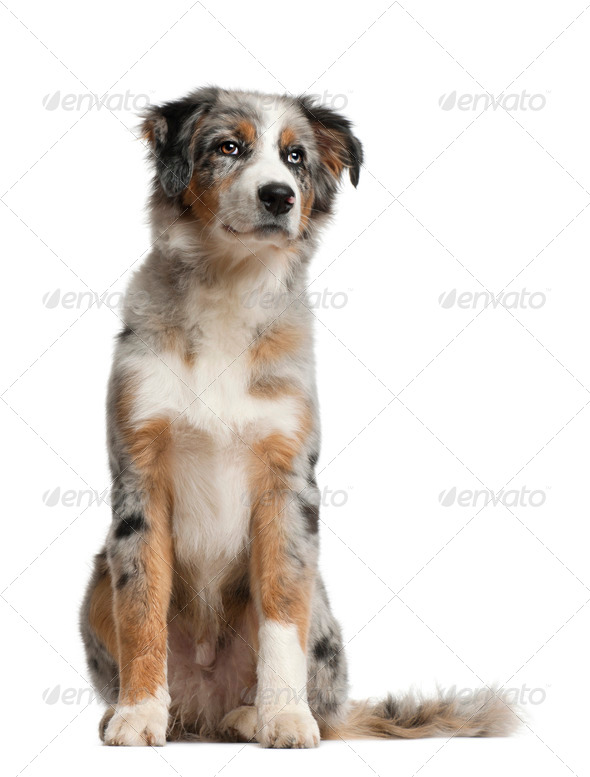 Australian Shepherd, 5 months old, sitting in front of white background - Stock Photo - Images