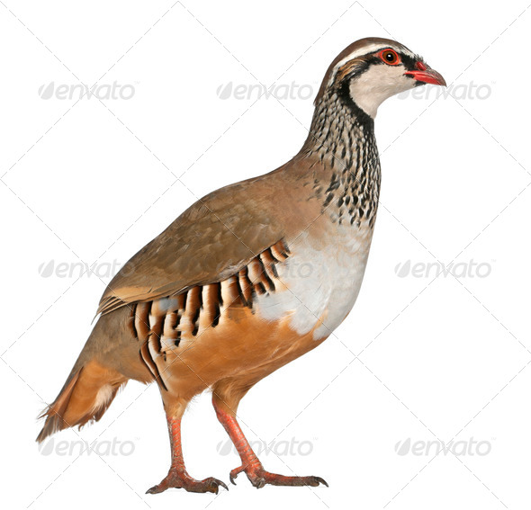 Red-legged Partridge or French Partridge, Alectoris rufa, a game bird in the pheasant family - Stock Photo - Images