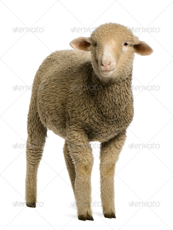 Merino lamb, 4 months old, portrait, in front of white background - Stock Photo - Images