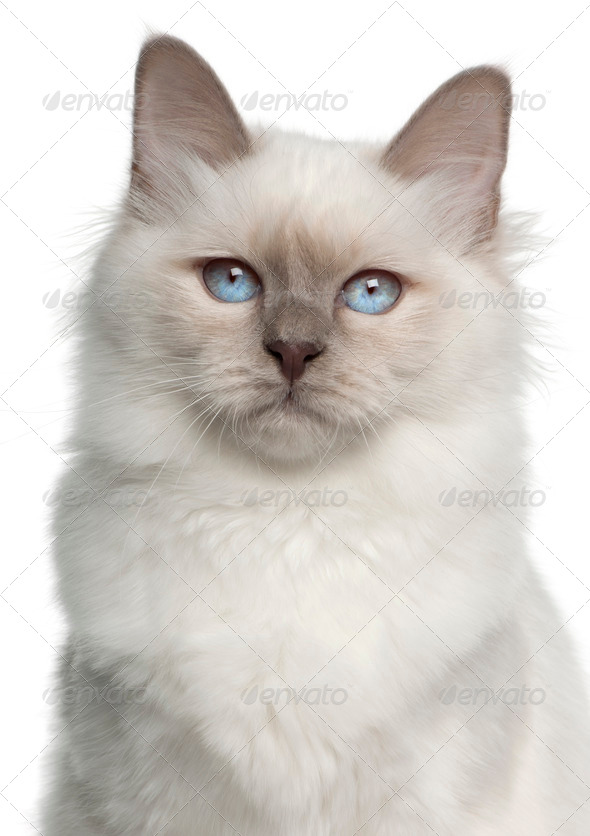 Portrait of Birman cat, 5 months old, in front of white background - Stock Photo - Images