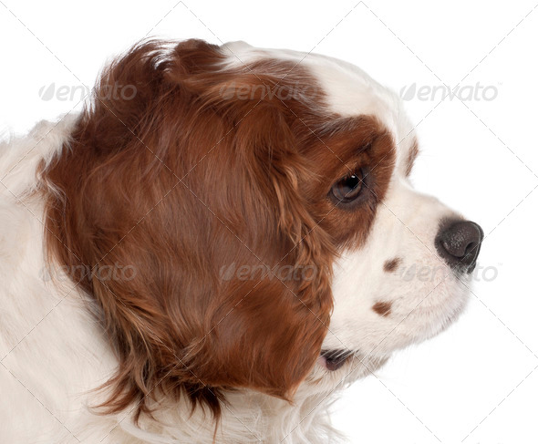 Close up of Cavalier King Charles Spaniel, 3 years old, in front of white background - Stock Photo - Images