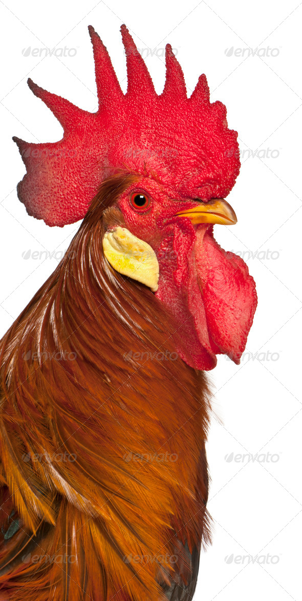 Portrait of Rooster Leghorn, in front of white background - Stock Photo - Images