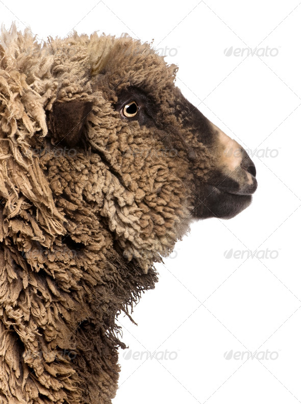 Crossbreed sheep standing in front of white background - Stock Photo - Images
