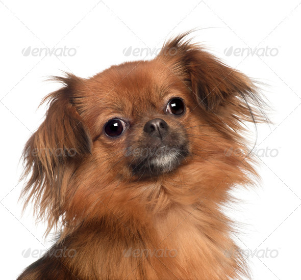 Portrait of Yorkshire Terrier, 1 year old, in front of white background - Stock Photo - Images