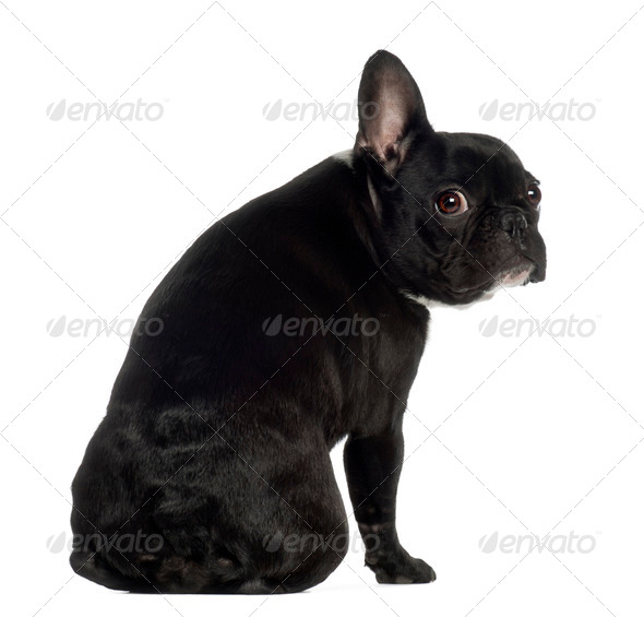 Portrait of French Bulldog, 13 months old, sitting in front of white background - Stock Photo - Images