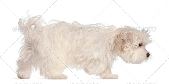 Maltese puppy, 5 months old, in front of white background - Stock Photo - Images