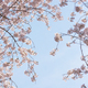 Beautiful cherry blossom, blooming tree in spring time - PhotoDune Item for Sale