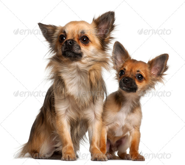 Chihuahuas, 8 months old, in front of white background - Stock Photo - Images