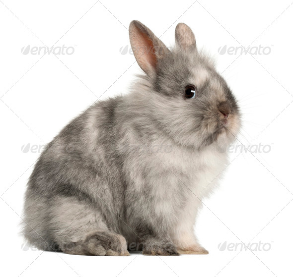 Portrait of a grey rabbit sitting in front of white background - Stock Photo - Images