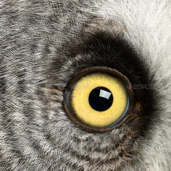 Portrait of Great Grey Owl or Lapland Owl, Strix nebulosa, a very large owl, eye - Stock Photo - Images