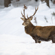 Sturdy male of red deer with fluffy fur wading through the snow - PhotoDune Item for Sale