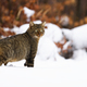 Staring european wild cat with fluffy tail on the wintry hunt - PhotoDune Item for Sale