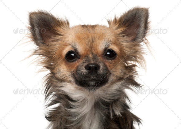 Chihuahua, 7 months old, in front of white background - Stock Photo - Images