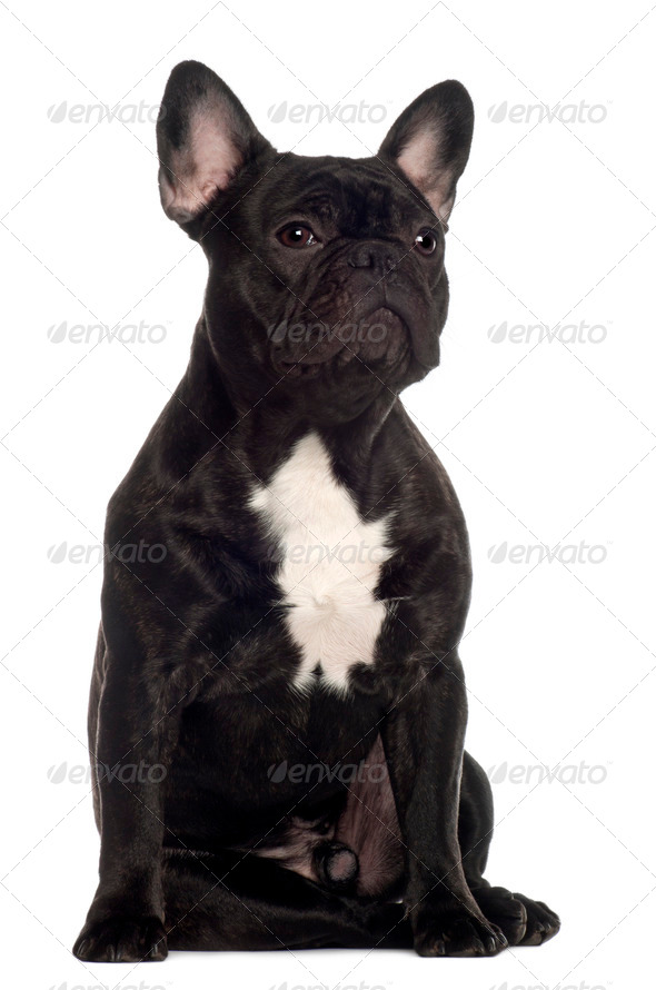 French Bulldog, 11 months old, sitting in front of white background - Stock Photo - Images