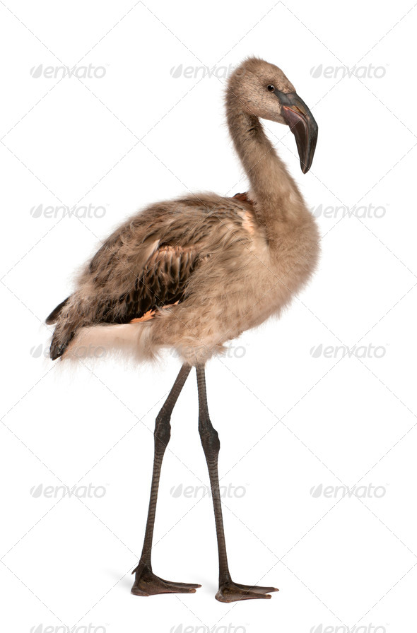 Portrait of Chilean Flamingo, Phoenicopterus chilensis, 5 months old in front of white background - Stock Photo - Images