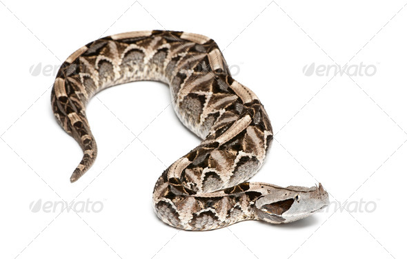 Gaboon viper - Bitis gabonica, poisonous, white background - Stock Photo - Images